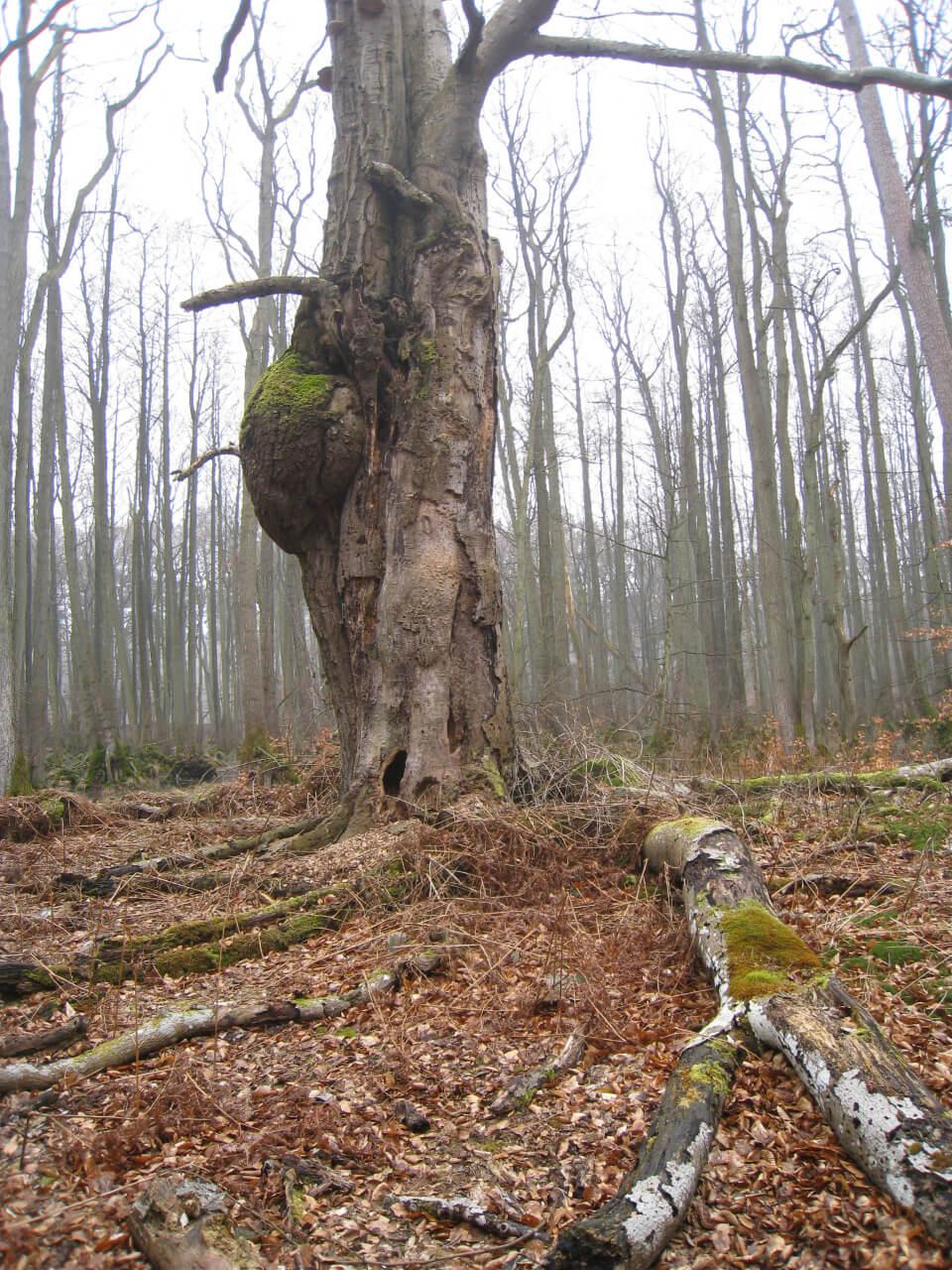 Darßer Wald auf dem Weg zum Weststrand